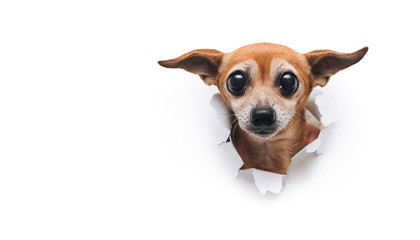 Bug-eyed muzzle. The head of old dog through a hole on a white torn paper background. Russian Toy Terrier. Horizontal studio image, copy space. Concept of fear, spy, curiosity and snoop.