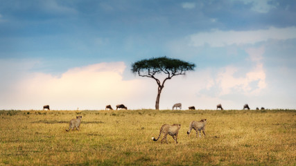 Wall Mural - African Cheetah on the Prowl