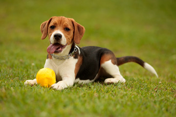 a beagle puppy plays with a ball in the park