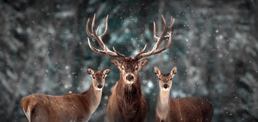 Wall Mural - Noble deer family in winter snow forest. Artistic winter christmas landscape. Winter wonderland.