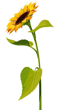 Sunflower flower with a long stem and leaves isolated on white background