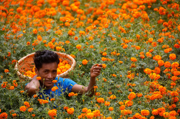 A man picks marigold flowers, used to make garlands and offer prayers, before selling them to the market for the Tihar festival, also called Diwali, in Kathmandu