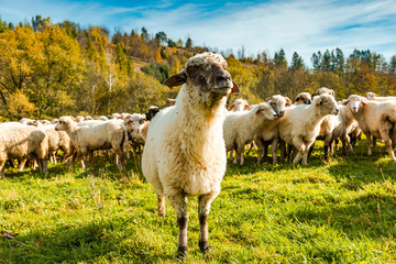 Fond de hotte en verre imprimé Sheep Sheep Flock or Herd on Green Pasture Outdoor at Sunny Fall Day