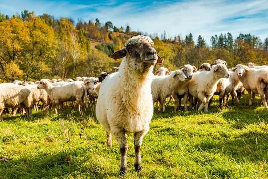Sheep Flock or Herd on Green Pasture Outdoor at Sunny Fall Day