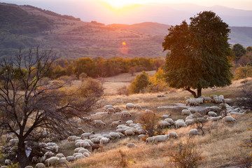 Deurstickers Zalm Flock of sheep grazing in a hill at sunset.