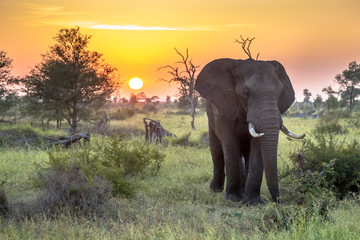 Spoed Fotobehang Olijf African Elephant walking at sunrise