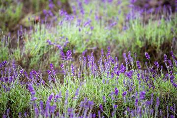 lavendel lila