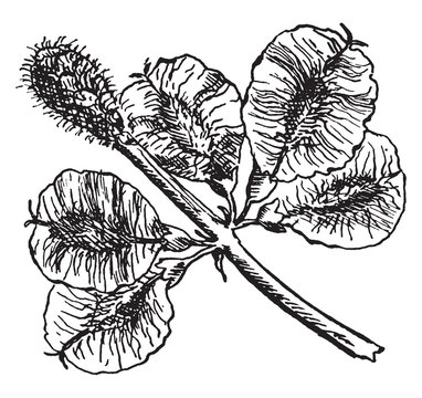 Slippery Elm Fruit vintage illustration.
