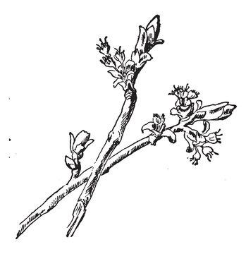 Silver Maple Flower vintage illustration.