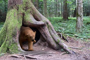 Junger Braunbär streift durch den Wald