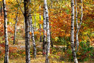 Garden Poster Birch Grove beautiful landscape nature of, yellow birch forest and sun