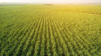 Sugar Cane farm. Sugar cane fields view from the sky. Drone photo of cane sugar. Sugarcane field in blue sky and white cloud. Aerial view or top view of Sugarcane or agriculture.
