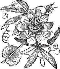 Passionflower vintage illustration.