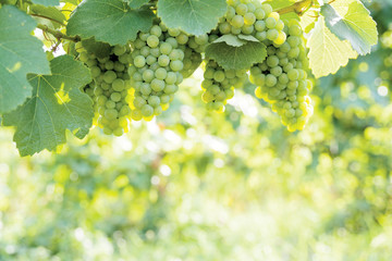 Spoed Foto op Canvas Wijn White wine grapes on the vine against blurred sunlit foliage