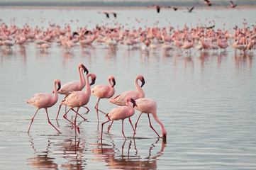 Keuken foto achterwand Flamingo The lesser flamingoes (Phoenicopterus minor) at lake Nakuru, Kenya.