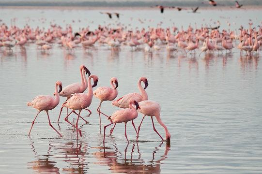 The lesser flamingoes (Phoenicopterus minor) at lake Nakuru, Kenya.