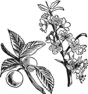 Sloe vintage illustration.