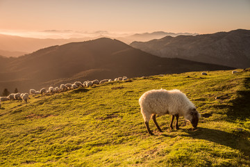 Photo sur Aluminium Sheep Sheeps eating grass in the mountains in the basque country