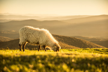 Tuinposter Schapen Sheeps eating grass in the mountains in the basque country
