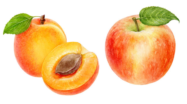 Apple apricot set composition watercolor isolated on white background