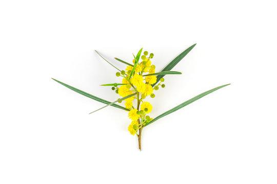 Acacia pycnantha isolated on white background
