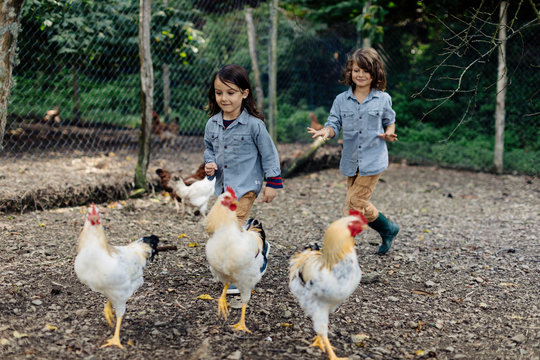 Two children chasing chickens on an organic farm