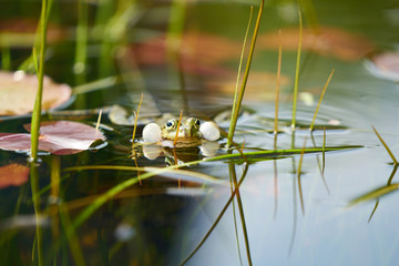 Photo sur Toile Grenouille A singing frog in a pond