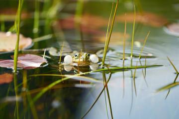 Foto auf Leinwand Frosch A singing frog in a pond