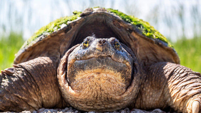 close up portrait of a snapping turtle