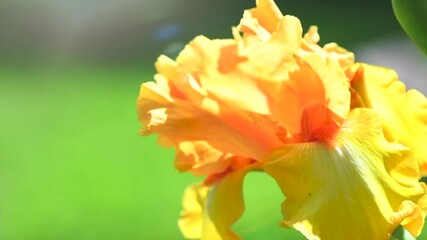 Fotoväggar - Iris flower blooming in a garden. Beautiful yellow with orange colour Iris flower growing closeup. Slow motion. Gardening concept. Slow motion 4K UHD video footage. 3840X2160