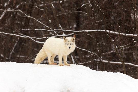 A lone Arctic Fox in winter