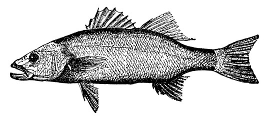 Bass, vintage illustration.