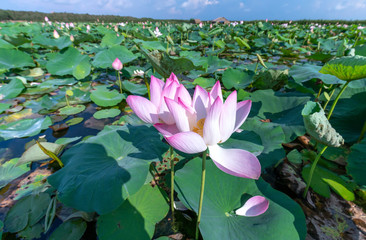 Garden Poster Lotus flower Close up of colorful blooming lotus flowers in a beautiful field