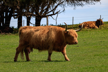 Highland Cattle in Phillip Island, Australia