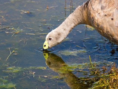 Goose drinking water