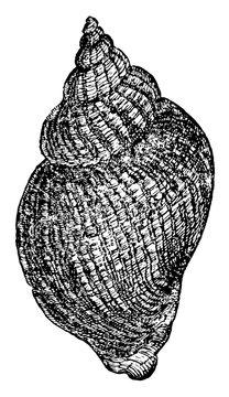 White Whelk, vintage illustration.