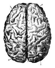 Brain Seen from Above, vintage illustration