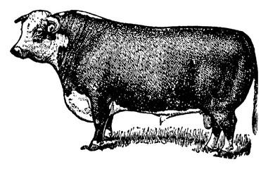 Hereford Bull, vintage illustration.