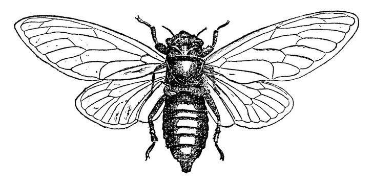 Cicada Septendecim, vintage illustration.