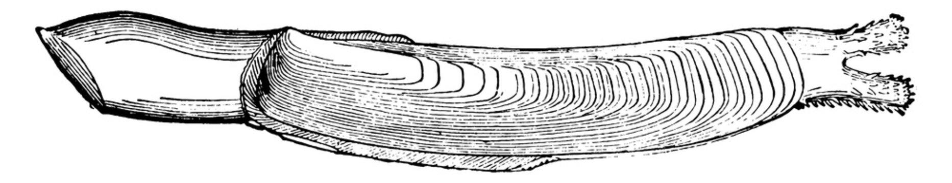 Razor Shell Clam, vintage illustration.