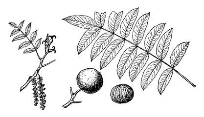 Branch of California Black Walnut vintage illustration.