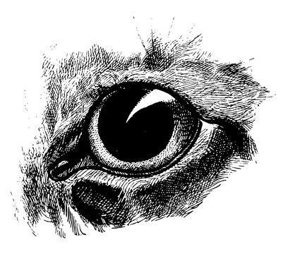 Dilated Cat Eye, vintage illustration.