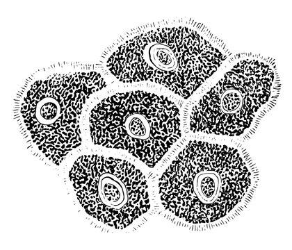 Pavement Epithelium, vintage illustration