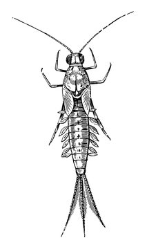Mayfly, vintage illustration.