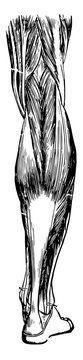 Muscles and Tendons of the Leg, vintage illustration.
