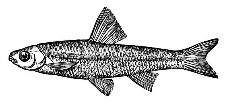 Spottail Minnow or Shiner, vintage illustration.