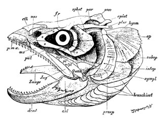 Fish Skull, vintage illustration