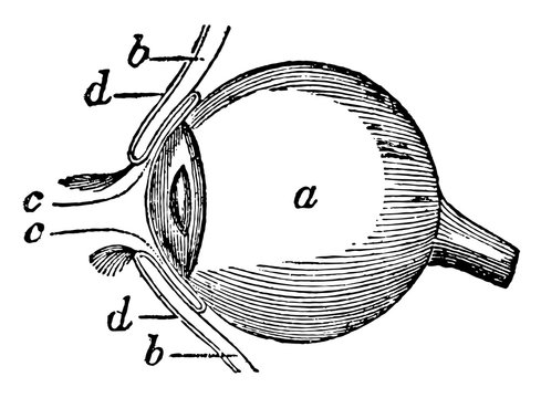 Side View of the Eyeball, vintage illustration.