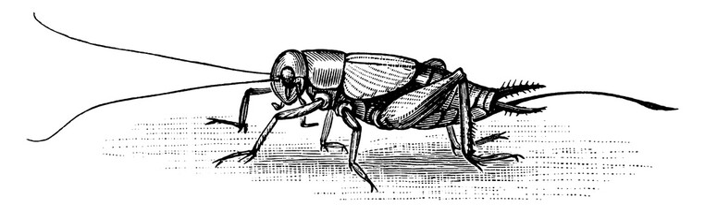 Cricket, vintage illustration.