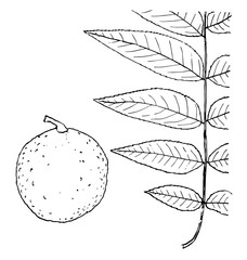 Genus Juglans, L. (Walnut) vintage illustration.